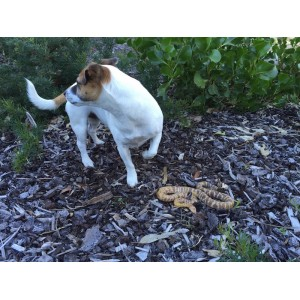 Snake Avoidance Training for Dogs